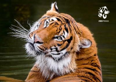 Pohlednice Zoo Praha  – Tygr malajský