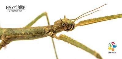 Hmyzí říše – pakobylka rohatá