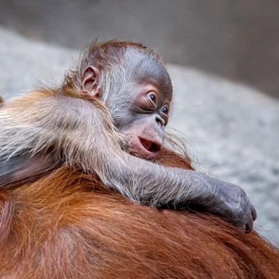 Fotografie orangutaního mláděte - samečka Kawiho II