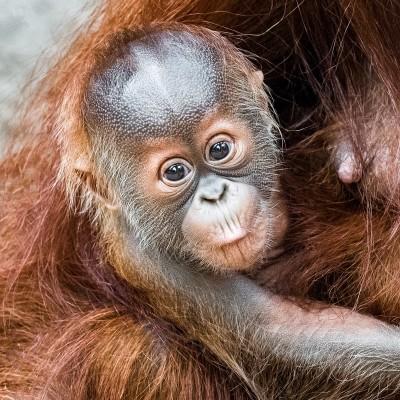 Fotografie orangutaního mláděte – samečka Kawiho III