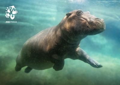 Pohlednice Zoo Praha - hroch obojživelný