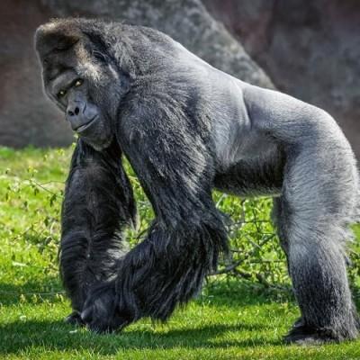 Fotografie oblíbeného gorilího samce Richarda