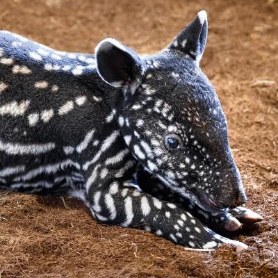 Jedinečná fotografie s motivem mláděte tapíra čabrakového – motiv č. 1