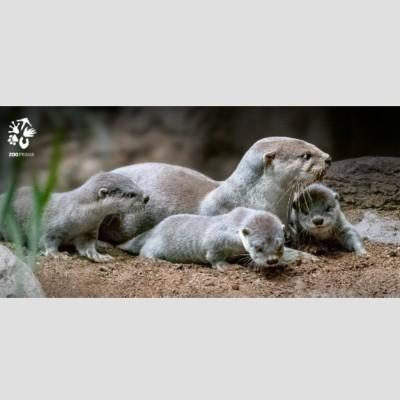Pohlednice Zoo Praha  – Vydra hladkosrstá