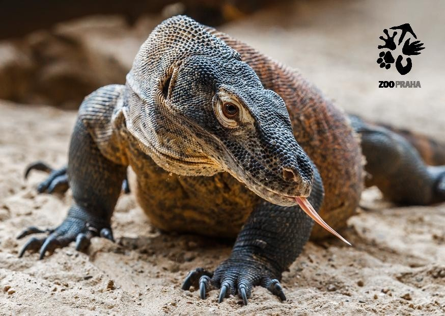 Pohlednice Zoo Praha  – varan komodský