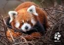 Pohlednice Zoo Praha  – panda červená II