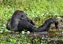 Leporelo Gorily nížinné v přírodě
