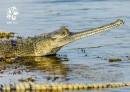 Pohlednice gaviál indický