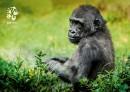 Pohlednice gorila nížinná