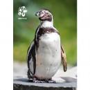 Pohlednice Zoo Praha - tučňák Humboldtův