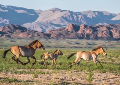 Fotoobraz - Divocí koně v Tachin talu