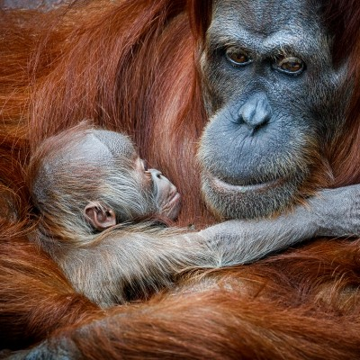 Fotografie orangutaního mláděte - samečka Kawiho