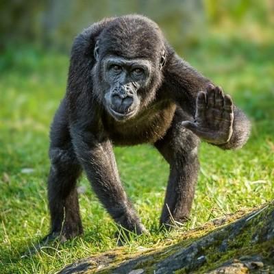 Fotografie mláděte gorily nížinné, samečka jménem Ajabu
