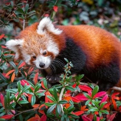Fotografie pandy červené