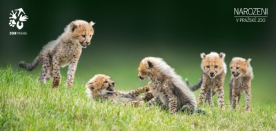 Pohlednice - Gepardí paterčata