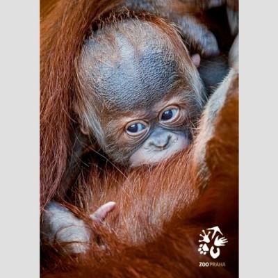 Pohlednice Zoo Praha – orangutan sumaterský