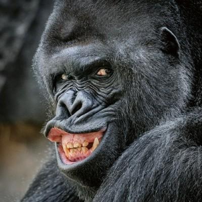 Portrét oblíbeného gorilího samce Richarda
