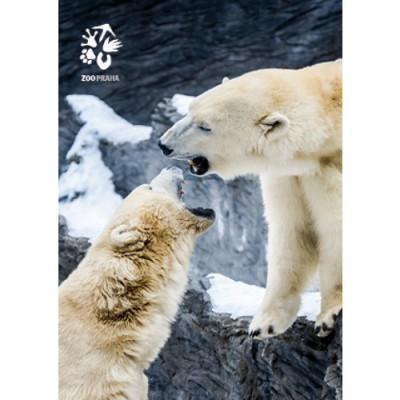 Pohlednice Zoo Praha - medvěd lední