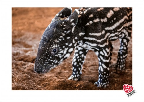 Jedinečná fotografie s motivem mláděte tapíra čabrakového – motiv č. 2
