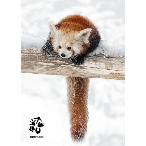 Pohlednice Zoo Praha - panda červená
