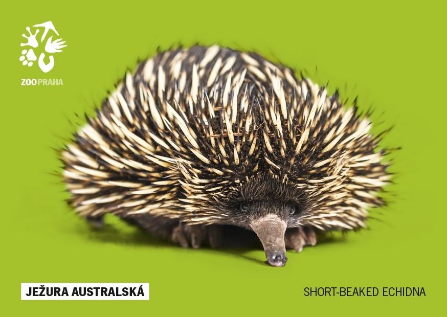 Pohlednice Zoo Praha - ježura australská